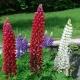fiori-lupini-nel-giardino